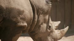 White Rhino Portrait Stock Footage