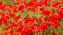 Red weed - Flowering red poppies in the field Stock Footage