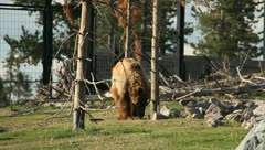 Bears at the Yellowstone Grizzley World 27 Stock Footage