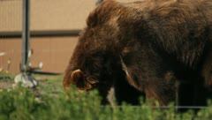 Bears at the Yellowstone Grizzley World 28 Stock Footage