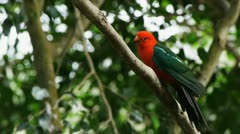 Australian king parrot Stock Footage