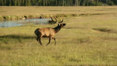 Bull Elk with Antlers Eating in a Field 5 Stock Footage