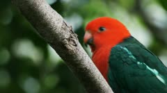 King parrot close up Stock Footage