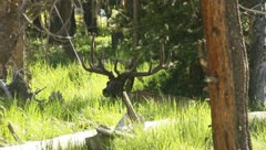 Bull Elk With Antlers in the grass 5 Stock Footage