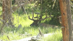 Bull Elk With Antlers in the grass 8 Stock Footage
