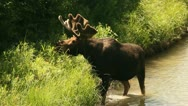 Bull moose eating on the river 14 Stock Footage