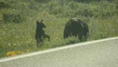 Mamma bear and two cubs 21 Stock Footage
