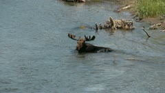 Moose in a river 2 - stock footage