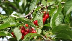 Sweet cherry. Stock Footage