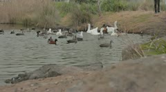 Ducks And Swans In A Pond Moving Out Of Frame Stock Footage