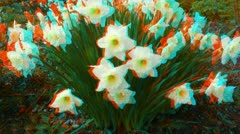 Stereoscopic 3D of blooming narcissus flowers in a field 4 combo - stock footage