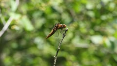 Stock Video Footage of Broad-bodied Chaser (Libellula depressa)