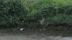 Stock Footage - Wild  Rabbit comes out of hole, near pond Stock Footage