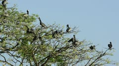 Brown Pelicans perched on treetops Stock Footage
