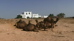 Camels in the desert of Oman Stock Footage