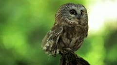 Stock Video Footage of Northern Saw-whet Owl