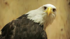 Bald Eagle Stock Footage