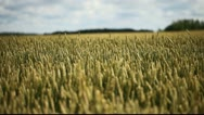 Stock Video Footage of Ripe wheat.