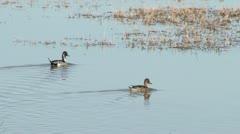 Pintail Ducks Stock Footage