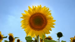 Sunflower on the wind - stock footage