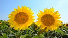 Two Sunflowers - stock footage