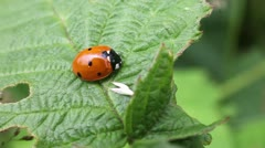 Ladybug - Coccinella Stock Footage