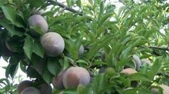 plumbs on tree - stock footage