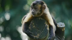 Capuchin Monkey Stock Footage
