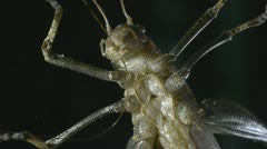 Grasshopper Cleaning his Mandibles Stock Footage