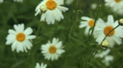 rain on daisies - stock footage