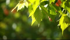 Green leaves. Beautiful summer green maple tree swinging in the wind. Stock Footage