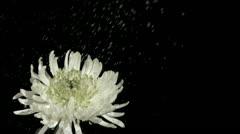 Stock Video Footage of Rain falling in super slow motion on chrysanthemum