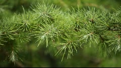 green prickly branches of a fur-tree or pine - stock footage