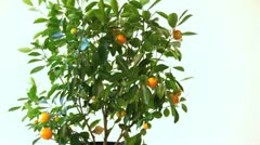 woman picking an orange from a tree. - stock footage