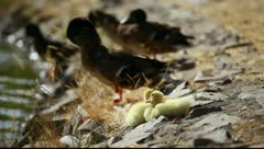 Mallard duck and baby ducklings Stock Footage