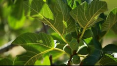 Focus on a fig tree in spring Stock Footage
