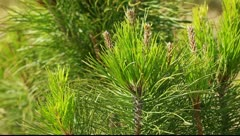 Green prickly branches of a fur-tree or pine Stock Footage