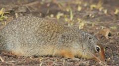 Richardson's ground squirrel Stock Footage