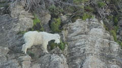 Mountain Goat Eating Stock Footage