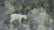 Stock Video Footage of Mountain Goat Eating