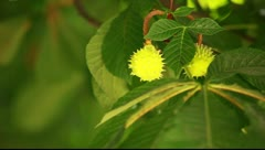 View under small green leaves chestnut trees at springtime Stock Footage