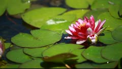 A single purple water lily flower floating in a lily pond Stock Footage