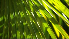Green Palm Leaf in the wind - stock footage