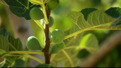 Focus on a fig tree in spring - stock footage