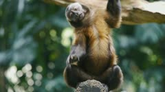 Capuchin Monkey Acting Stock Footage