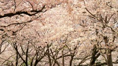 Sakura,Cherry Blossom in Japan - stock footage