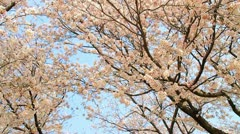 Dolly shot of Sakura,Cherry Blossom in Japan Stock Footage