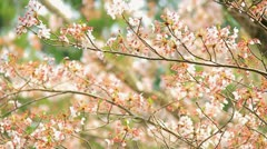 Slow Motion Shot of Sakura, Cherry blossom. - stock footage