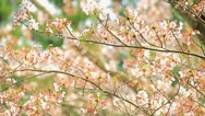 Stock Video Footage of Slow Motion Shot of Sakura, Cherry blossom.
