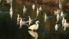 Little Egret hunting on a lake with black-headed gulls Stock Footage